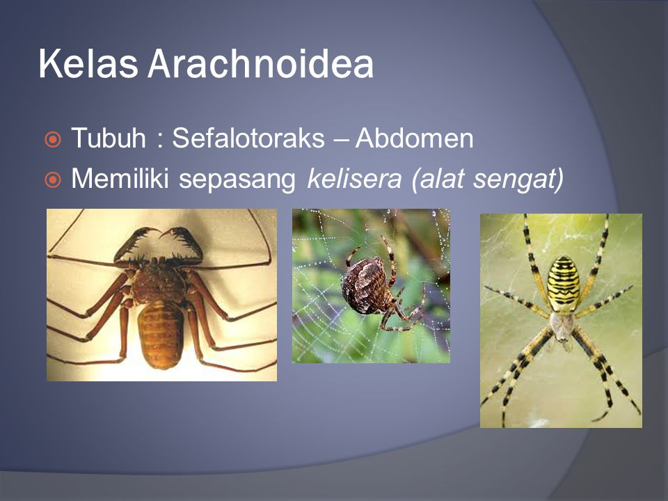 Kelas Arachnoidea  Tubuh : Sefalotoraks – Abdomen  Memiliki sepasang kelisera (alat sengat)