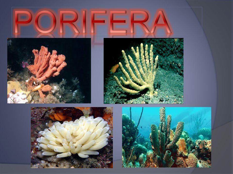 Ciri – ciri Porifera