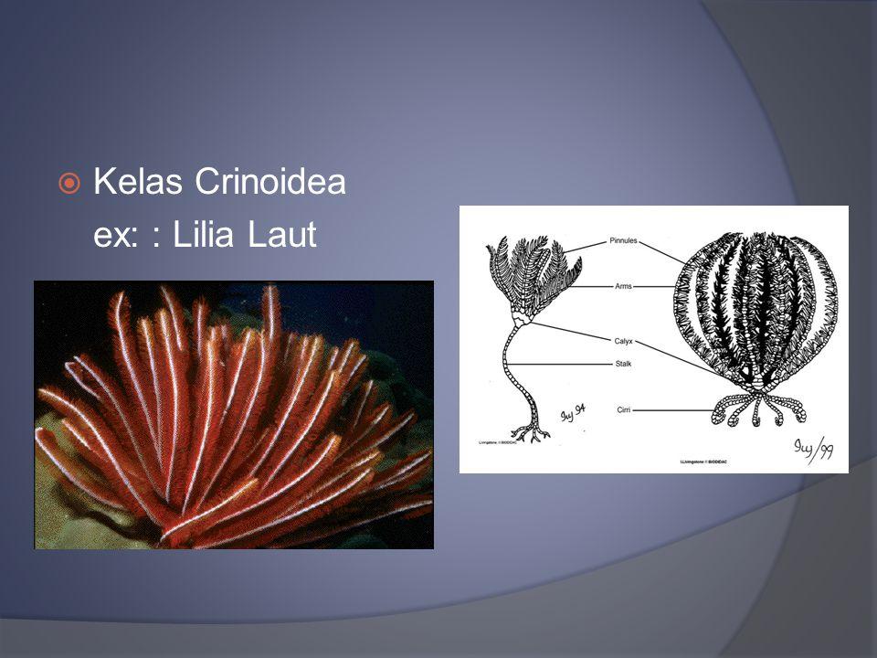  Kelas Crinoidea ex: : Lilia Laut