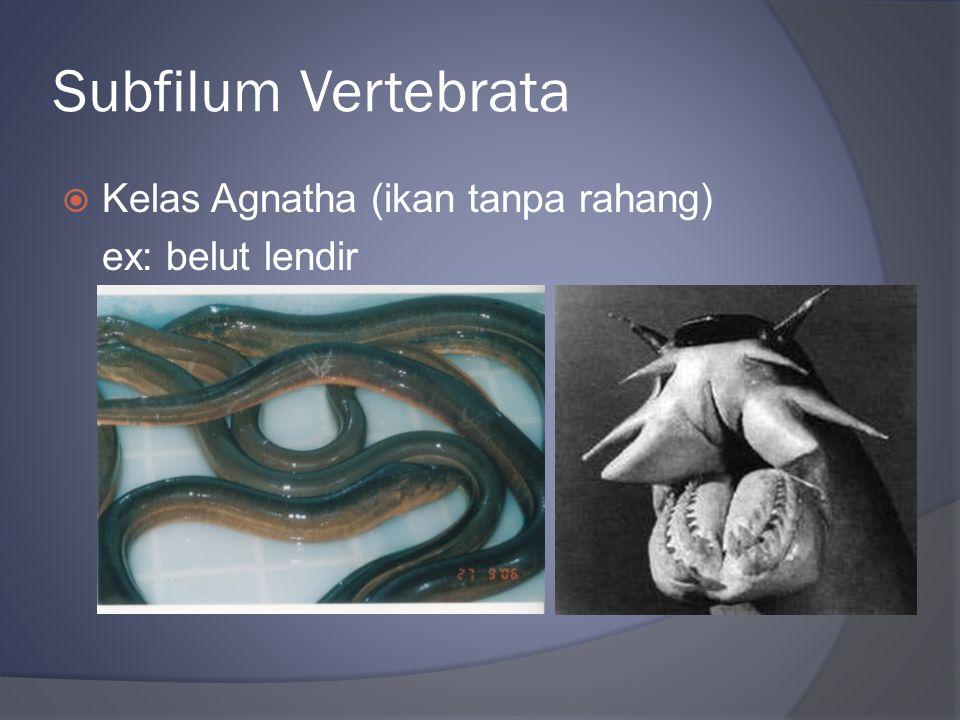Subfilum Vertebrata  Kelas Agnatha (ikan tanpa rahang) ex: belut lendir