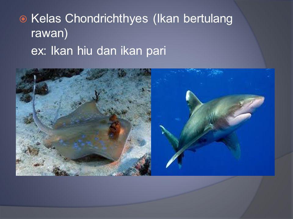  Kelas Chondrichthyes (Ikan bertulang rawan) ex: Ikan hiu dan ikan pari