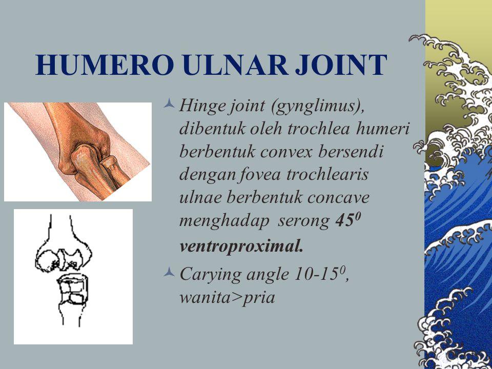HUMERO ULNAR JOINT Hinge joint (gynglimus), dibentuk oleh trochlea humeri berbentuk convex bersendi dengan fovea trochlearis ulnae berbentuk concave m