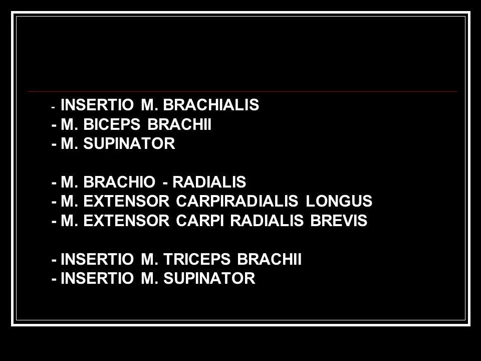- INSERTIO M.BRACHIALIS - M. BICEPS BRACHII - M. SUPINATOR - M.