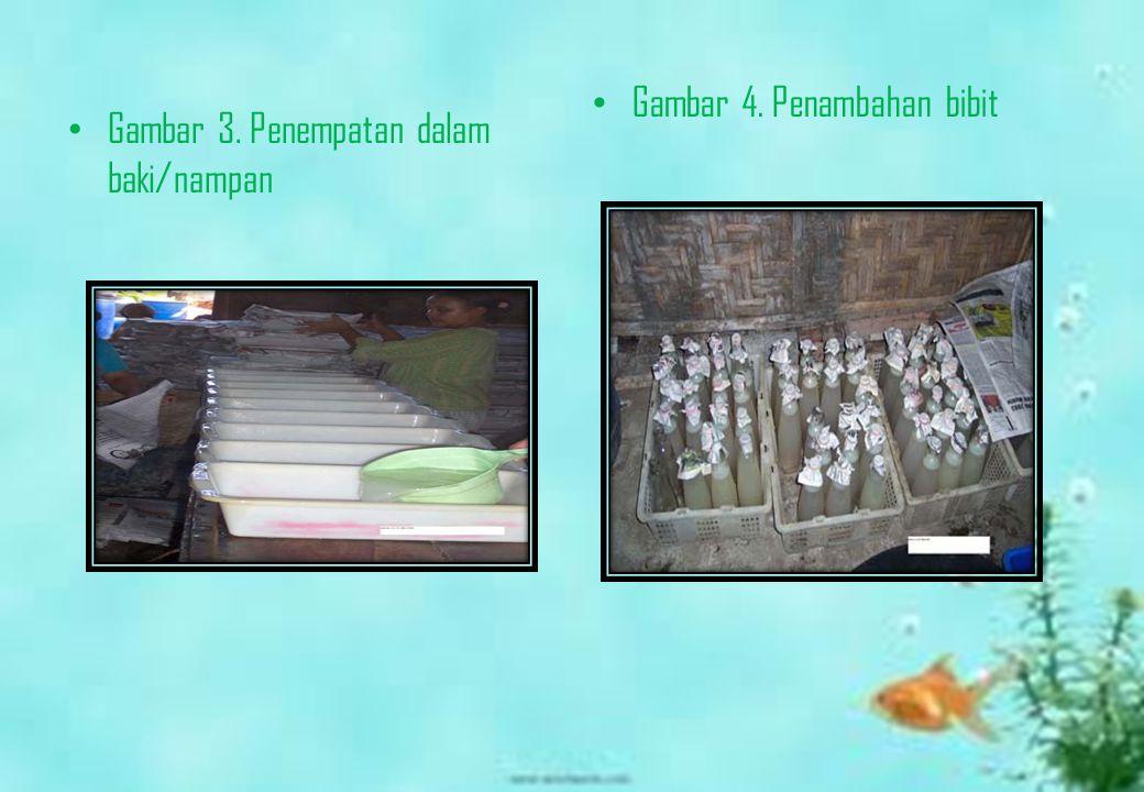 Gambar 3. Penempatan dalam baki/nampan Gambar 4. Penambahan bibit