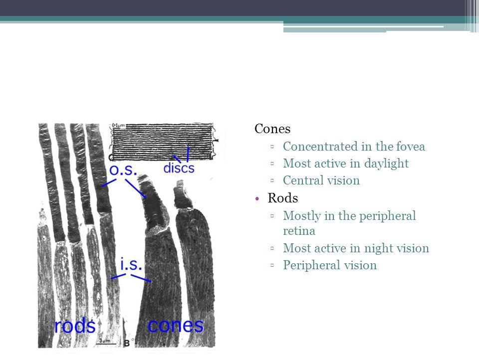 RETINA Epitel pigmen retina  1 lapis sel kuboid  Kaya dengan melanin  Mengandung 3.5 juta sel  Kepadatan berkurang dari fovea sentral ke perifer ▫Fungsi :  Fagositosis  Metabolisme retinol  Outer retinal barrier  Absorbsi cahaya  Sintesis matrix ekstraseluler  Regulasi transport ion dan bahan-bahan metabolite