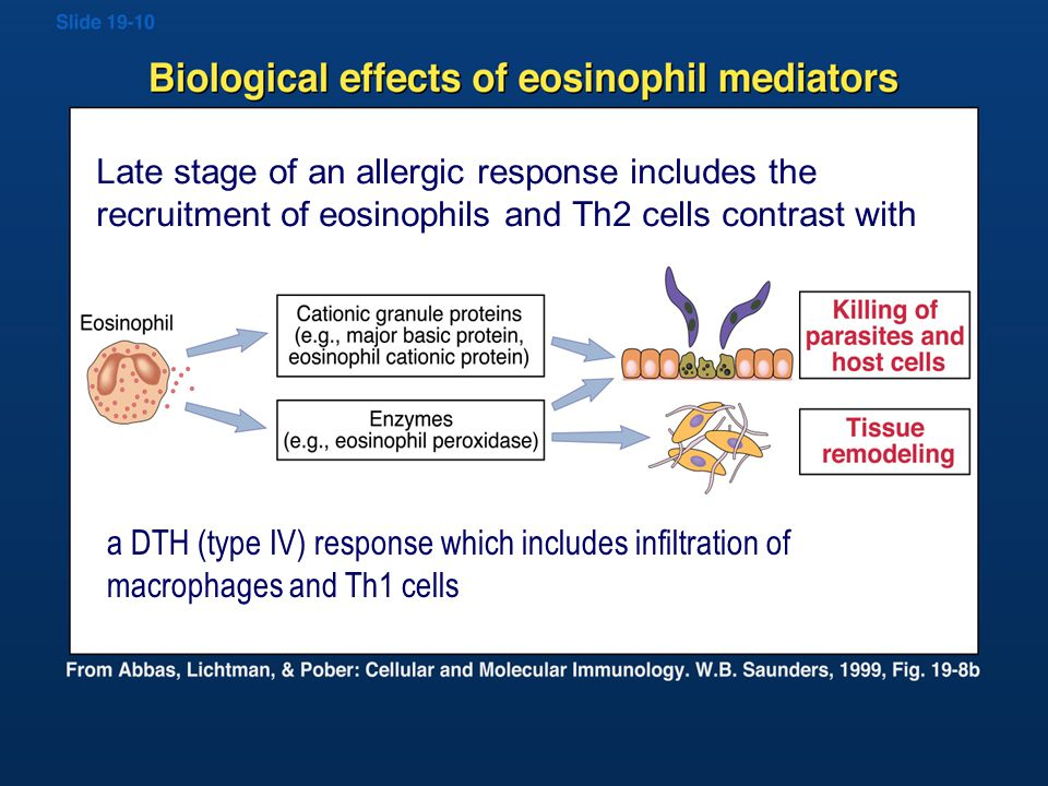 Biological effects of Eosinophil mediators Late stage of an allergic response includes the recruitment of eosinophils and Th2 cells contrast with a DTH (type IV) response which includes infiltration of macrophages and Th1 cells