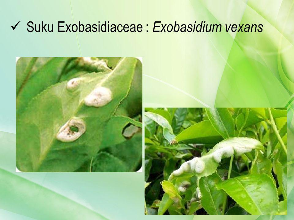 Suku Exobasidiaceae : Exobasidium vexans