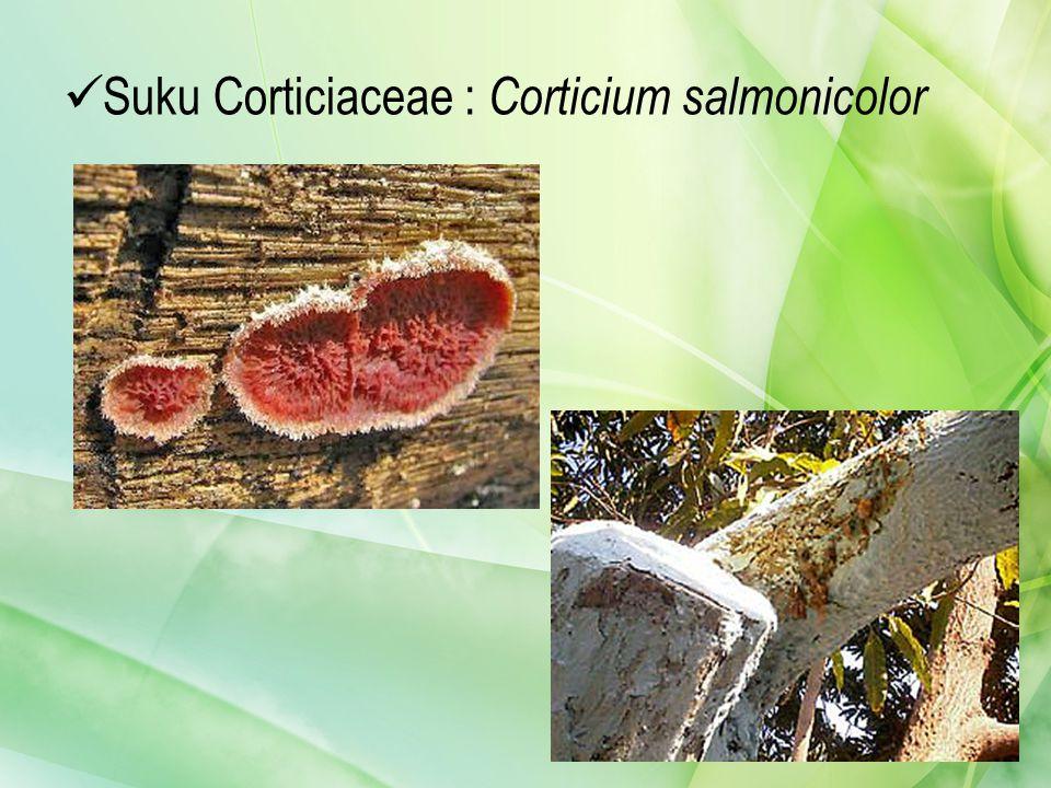 Suku Corticiaceae : Corticium salmonicolor