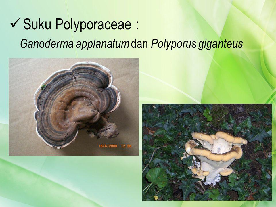 Suku Polyporaceae : Ganoderma applanatum dan Polyporus giganteus