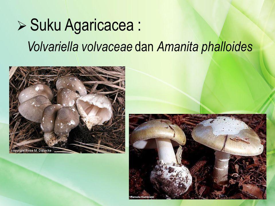  Suku Agaricacea : Volvariella volvaceae dan Amanita phalloides