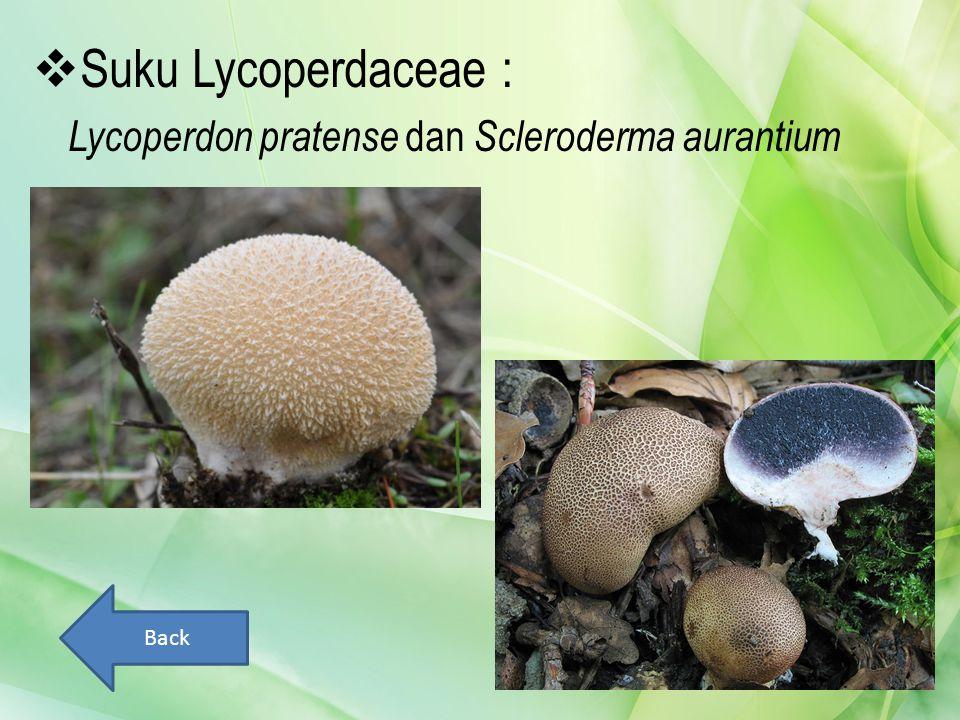  Suku Lycoperdaceae : Lycoperdon pratense dan Scleroderma aurantium Back