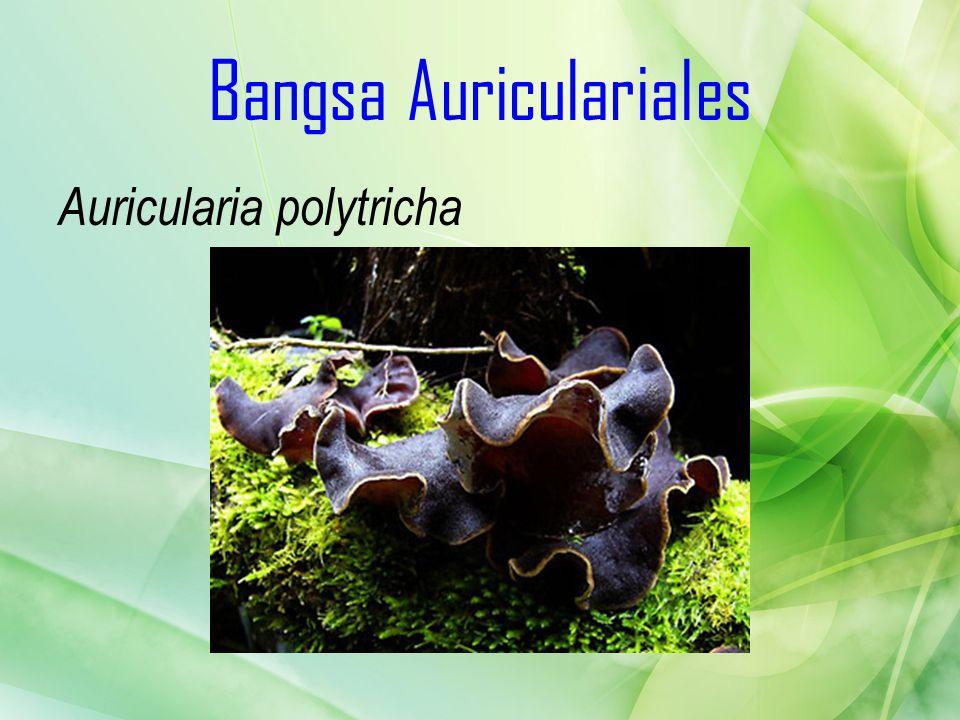Bangsa Auriculariales Auricularia polytricha
