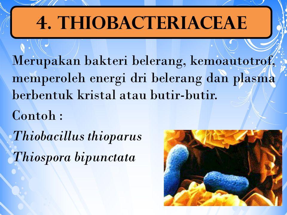 Merupakan bakteri belerang, kemoautotrof, memperoleh energi dri belerang dan plasma berbentuk kristal atau butir-butir. Contoh : Thiobacillus thioparu