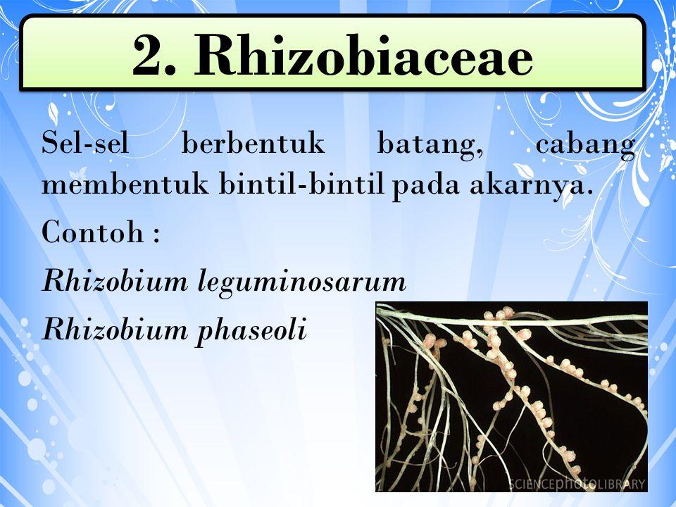 Sel-sel berbentuk batang, cabang membentuk bintil-bintil pada akarnya. Contoh : Rhizobium leguminosarum Rhizobium phaseoli 2. Rhizobiaceae