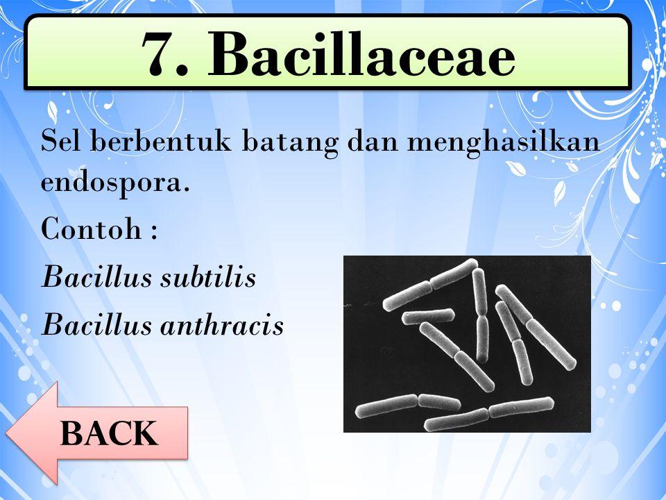 Sel berbentuk batang dan menghasilkan endospora. Contoh : Bacillus subtilis Bacillus anthracis 7. Bacillaceae Back