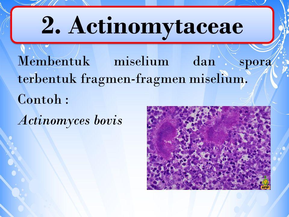 Membentuk miselium dan spora terbentuk fragmen-fragmen miselium. Contoh : Actinomyces bovis 2. Actinomytaceae