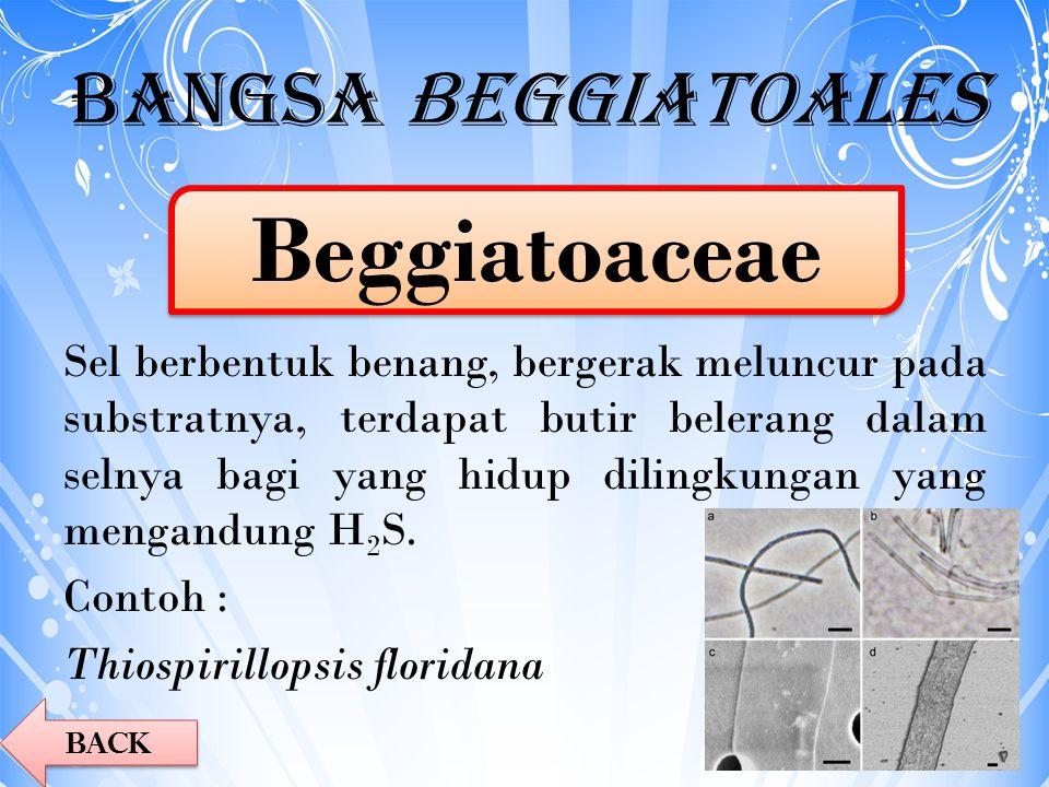 Bangsa Beggiatoales Sel berbentuk benang, bergerak meluncur pada substratnya, terdapat butir belerang dalam selnya bagi yang hidup dilingkungan yang m