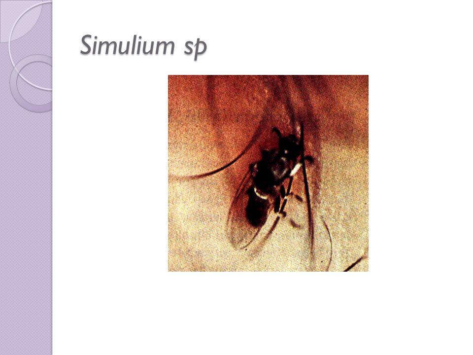 Simulium sp Sumber :A Colour Atlas of Clinical Parasitology. Tomio Yamaguchi. Alih Bahasa : Lesmana Padmasutra, dkk. Simulium japonicum sedang menghis