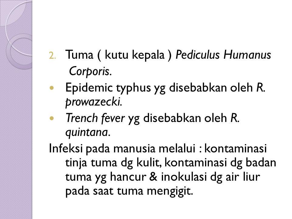 2. Tuma ( kutu kepala ) Pediculus Humanus Corporis.