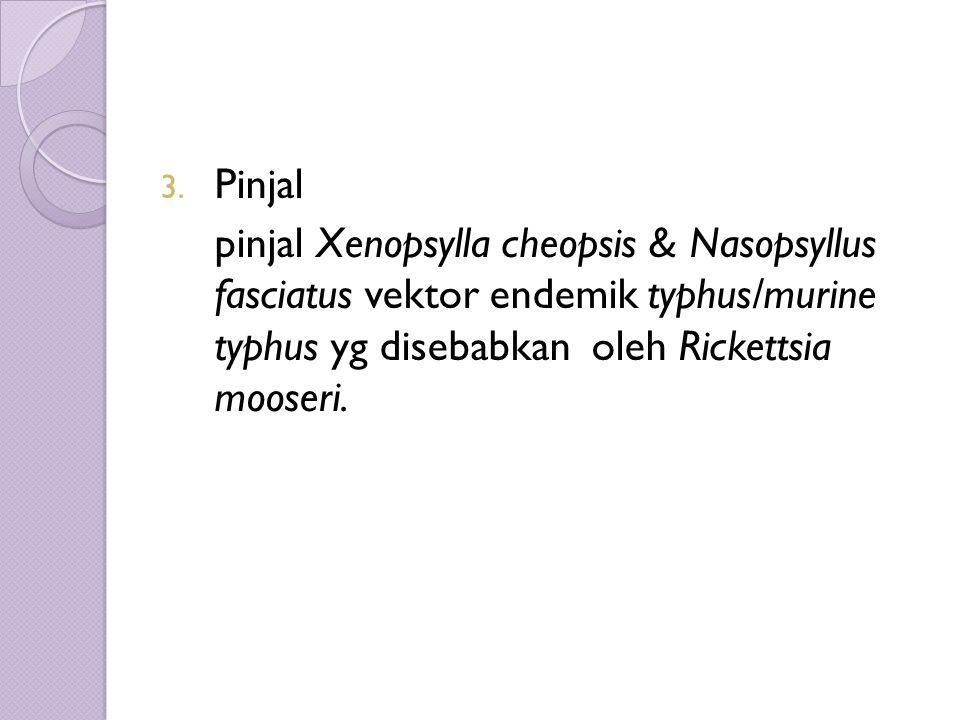 3. Pinjal pinjal Xenopsylla cheopsis & Nasopsyllus fasciatus vektor endemik typhus/murine typhus yg disebabkan oleh Rickettsia mooseri.