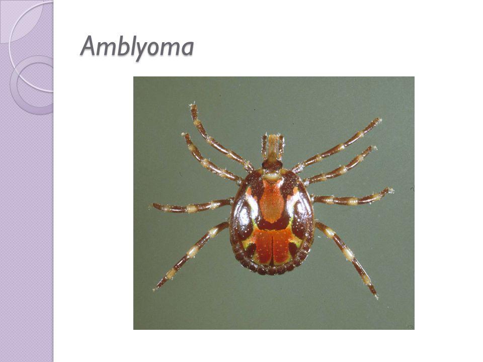 Amblyoma