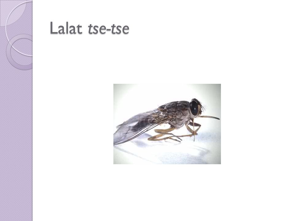 Lalat tse-tse