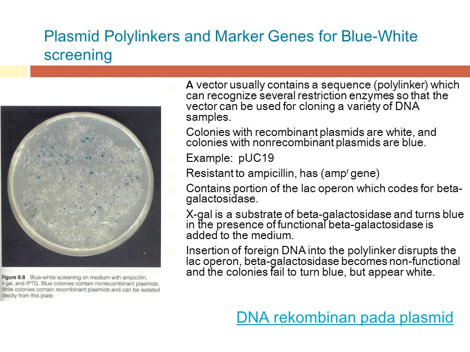 Plasmid Polylinkers and Marker Genes for Blue-White screening  A vector usually contains a sequence (polylinker) which can recognize several restrict