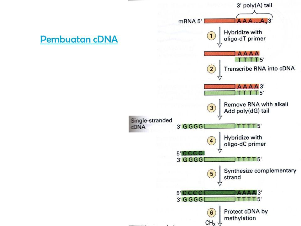 Pembuatan cDNA