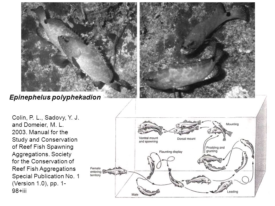 Epinephelus polyphekadion Colin, P. L., Sadovy, Y. J. and Domeier, M. L. 2003. Manual for the Study and Conservation of Reef Fish Spawning Aggregation