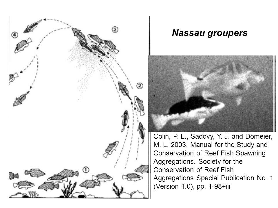 Nassau groupers