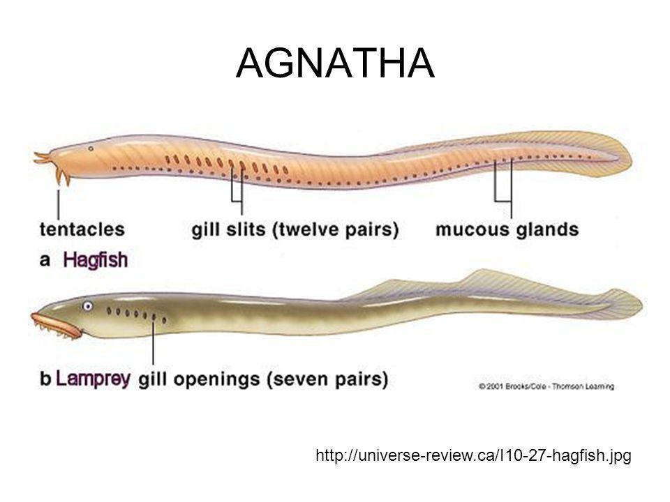 AGNATHA http://universe-review.ca/I10-27-hagfish.jpg