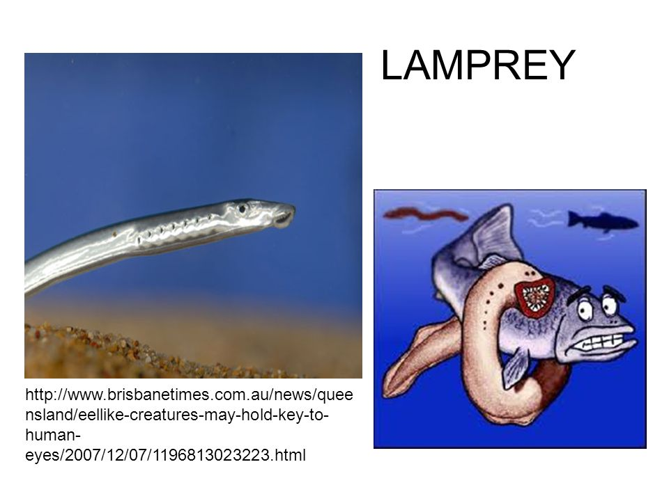 LAMPREY http://www.brisbanetimes.com.au/news/quee nsland/eellike-creatures-may-hold-key-to- human- eyes/2007/12/07/1196813023223.html