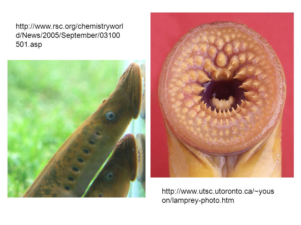 http://www.rsc.org/chemistryworl d/News/2005/September/03100 501.asp http://www.utsc.utoronto.ca/~yous on/lamprey-photo.htm