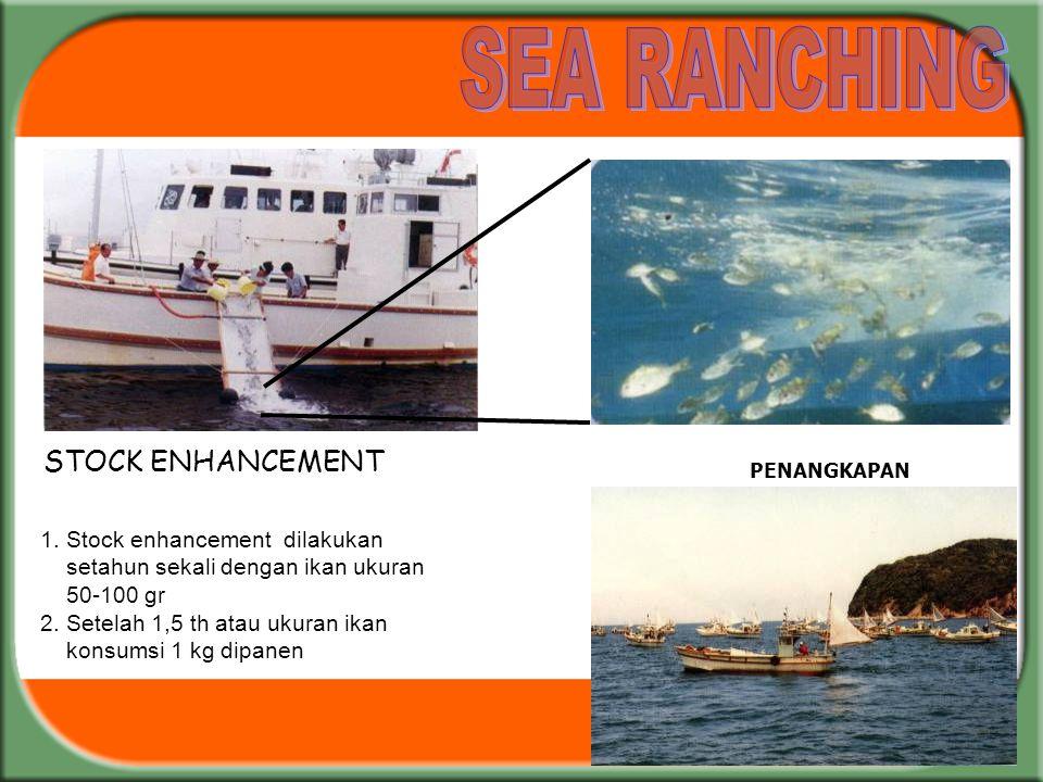 PENANGKAPAN 1. Stock enhancement dilakukan setahun sekali dengan ikan ukuran 50-100 gr 2. Setelah 1,5 th atau ukuran ikan konsumsi 1 kg dipanen STOCK