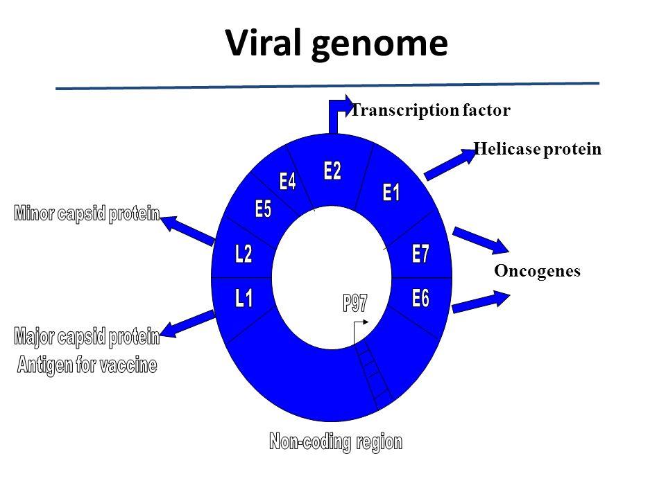 Oncogenes Transcription factor Helicase protein Viral genome