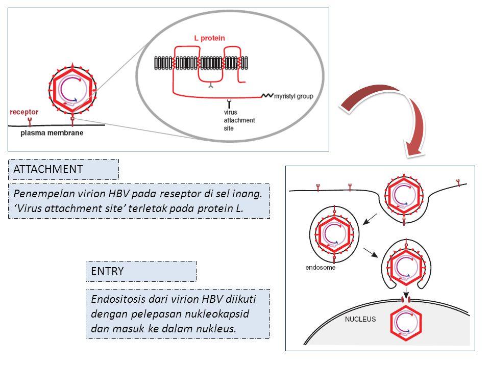 Penempelan virion HBV pada reseptor di sel inang.'Virus attachment site' terletak pada protein L.