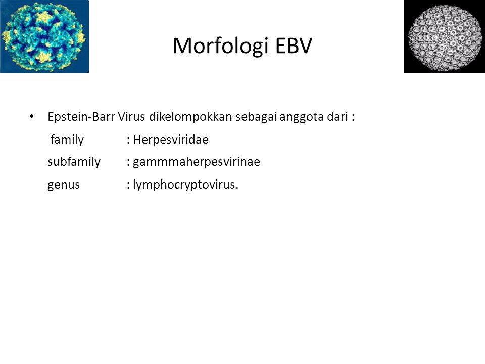 Morfologi EBV Epstein-Barr Virus dikelompokkan sebagai anggota dari : family : Herpesviridae subfamily : gammmaherpesvirinae genus : lymphocryptovirus.