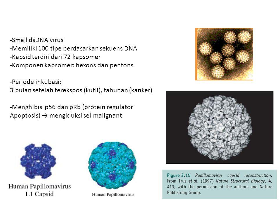 HTLV-2 Genomnya 70% sama dengan HTLV-1 Endemic di daerah Amerika Utara, suku Indian