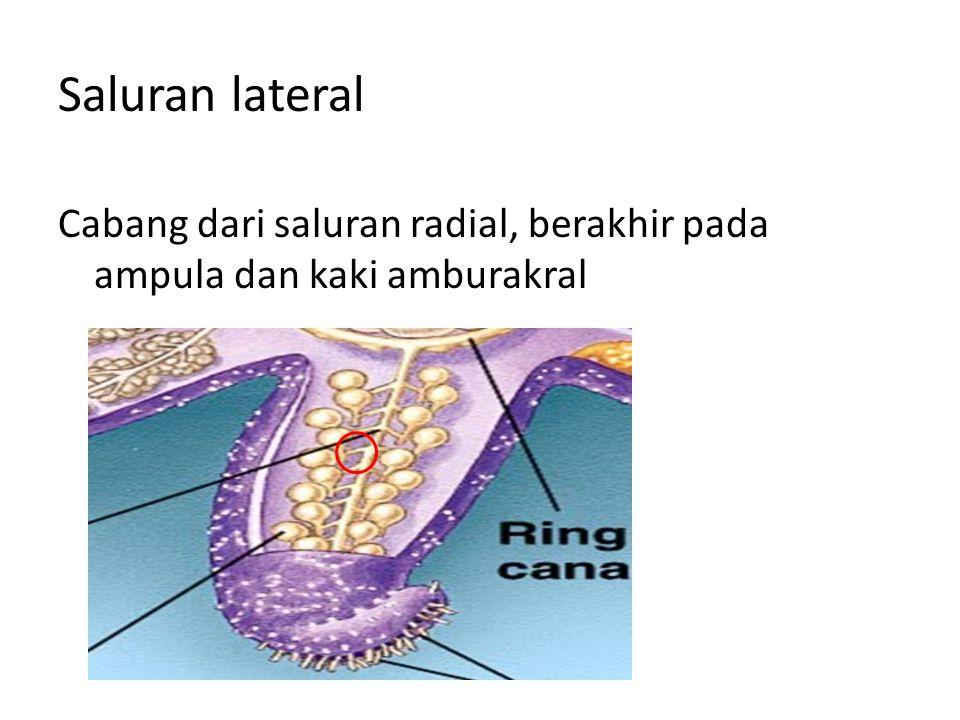 Saluran radial Cabang dari saluran cincin yang menuju ke setiap lengan Back