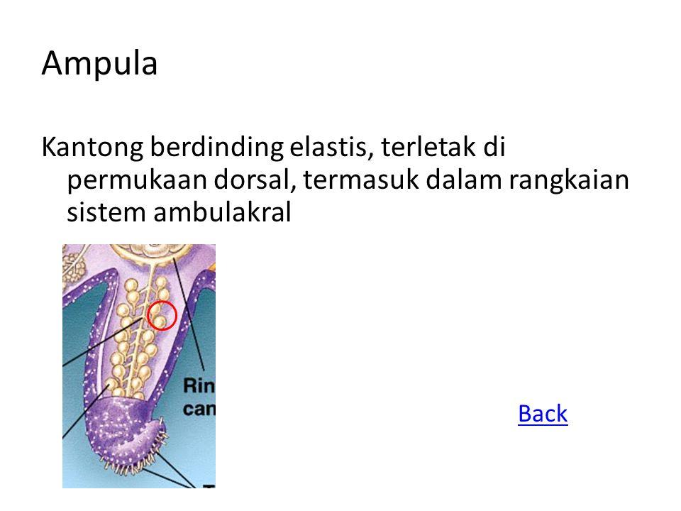 Saluran lateral Cabang dari saluran radial, berakhir pada ampula dan kaki amburakral