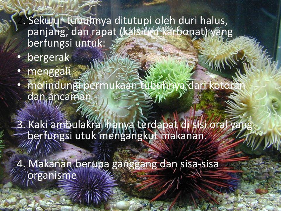 Ciri-Ciri 1. Tubuhnya berbentuk: Bola, contohnya bulu babi (Diadema saxatile) dan landak laut (Arabcia punctulata). Pipih, contohnya dolar pasir (Echi