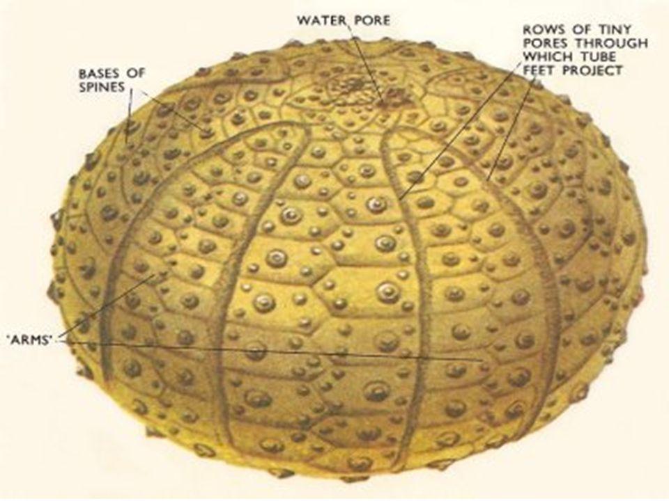 8. Contoh: Bulu babi gerip (Heterocentrotus mammillatus) Bulu babi jarum (Diadema setosum) Bulu babi (Tripneuter gratilla) Dolar pasir (Dendraster sp.
