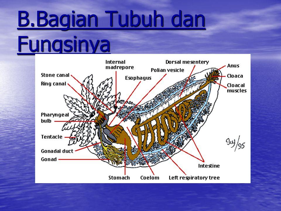  Banyak terdapat di Samudra Hindia dan Samudra Pasifik Barat  Sumbu simetri horisontal  Kaki tabung dapat ditemukan di seluruh tubuh  Kebiasaan he