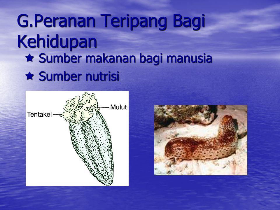 F.Sistem Pembuluh Air Terdiri dari :  Madreporit  Saluran cincin yang mengelilingi esofagus  Saluran radial