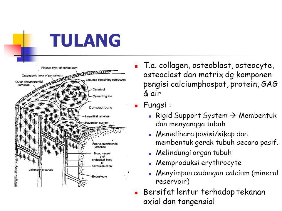 TULANG T.a. collagen, osteoblast, osteocyte, osteoclast dan matrix dg komponen pengisi calciumphospat, protein, GAG & air Fungsi : Rigid Support Syste
