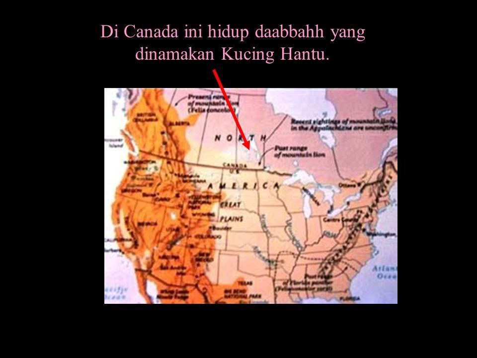 Di Canada ini hidup daabbahh yang dinamakan Kucing Hantu.