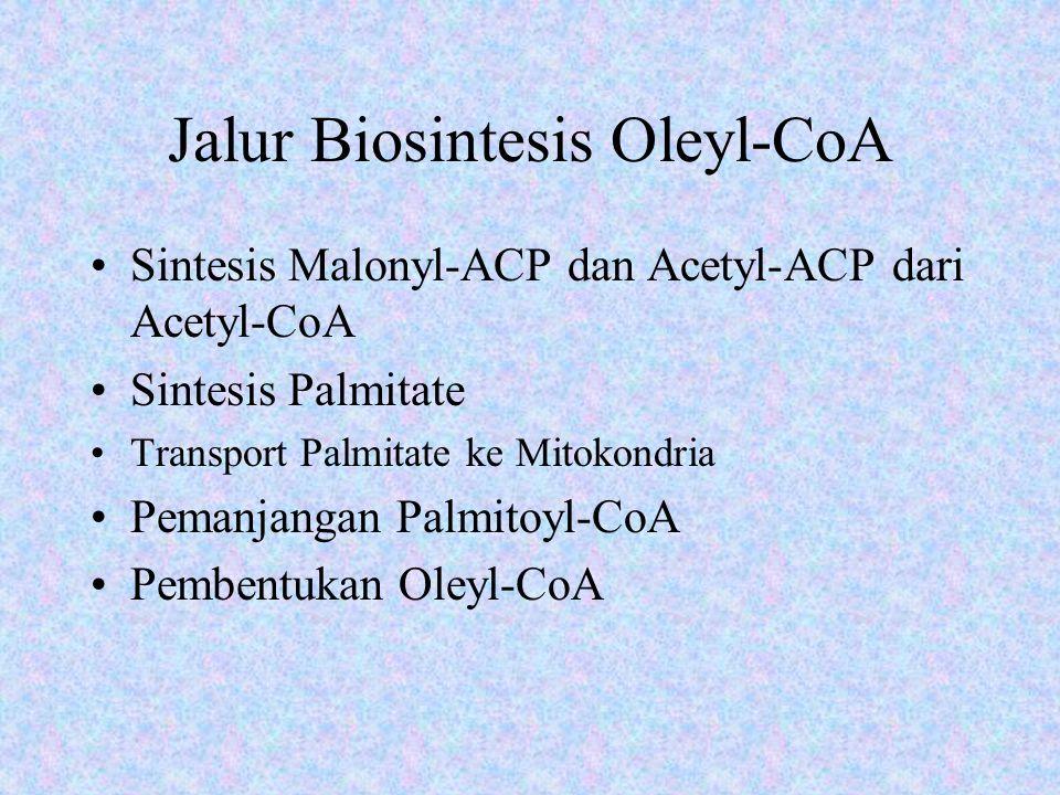 Jalur Biosintesis Oleyl-CoA Sintesis Malonyl-ACP dan Acetyl-ACP dari Acetyl-CoA Sintesis Palmitate Transport Palmitate ke Mitokondria Pemanjangan Palmitoyl-CoA Pembentukan Oleyl-CoA