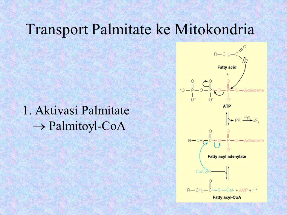 Transport Palmitate ke Mitokondria 2.