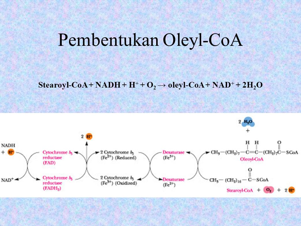 Pembentukan Oleyl-CoA Dikatalisis oleh stearoyl-CoA desaturase, sebuah enzim dengan massa 53 kD yang mengandung pusat nonheme besi.