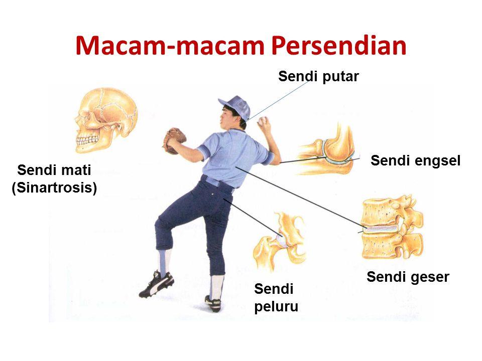 Sendi Gerak NamaArtiContoh Sendi Engsel Gerakan satu arah seperti pintuSendi pada siku dan lutut Sendi peluru Dapat bergerak ke segala arahSendi lenga